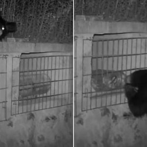 Zojirushi NS-ZCC10 Rice Cooker Hungry black bear is caught stealing 17 pounds of honey after sneaking into a bee yard in midnight